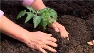 Vegetable Gardening : Tomato Gardening 101