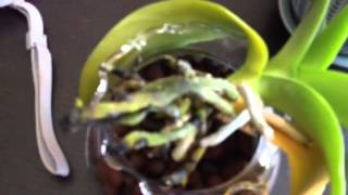 Orchid rescue: sphagnum vs. hydroton update 8/2/13