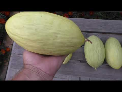 Вопрос: Как выращивать кабачки, чтобы плоды были ровными?
