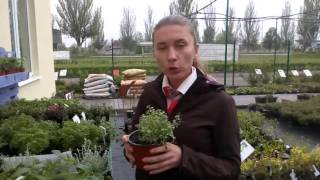 видео Пряно-целебные травы : Шалфей овощной Нектар