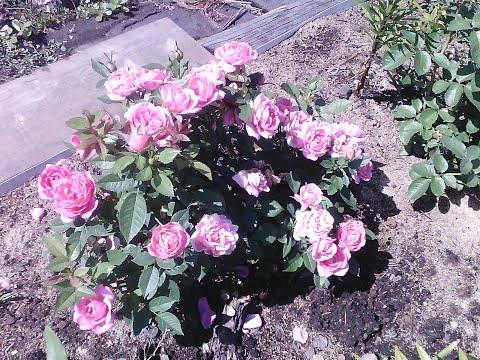 Как отличить росток розы от шиповника. Часть 1.