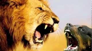 Lion Vs. Rottweiler!!! New!!!