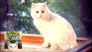 Турецкая ангора. Планета кошек