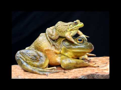 Nature Sounds Ribbit-Ribbit Frog Sounds
