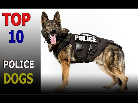 Top 10 Best Police Dog Breeds In T he World |Top 10 animals