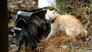 荒野の決闘! 野良猫対決 オスネコの戦い 【冬枯れの荒野編】 thumbnail