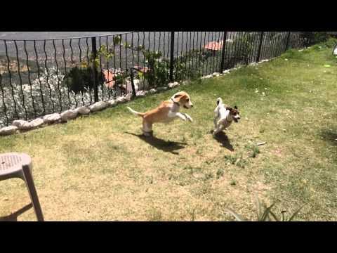 דולי & ג׳וי beagle vs jack russell
