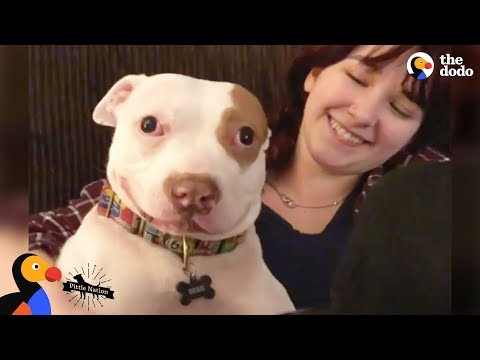 download Pit Bull Dog Makes His Family Whole Again - BEAU   The Dodo Pittie Nation