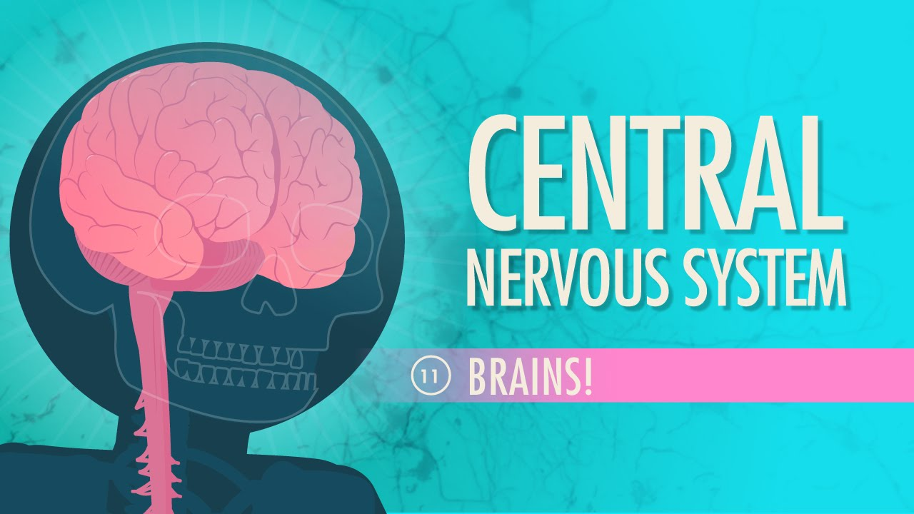 Central Nervous System: Crash Course A&P #11 - YouTube