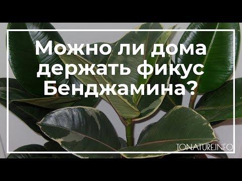 Можно ли дома держать фикус Бенджамина? | toNature.Info