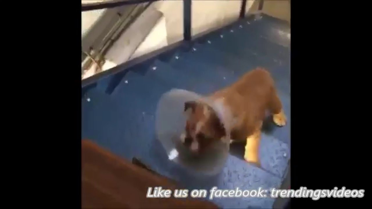 dog climbs stairs wearing cone of shame youtube