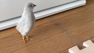 【姫うずら】それぞれの鳴き声 The cry of each King quail ※音量注意