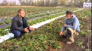видео: Сельские истории с Сергеем Курочкиным. Клубника