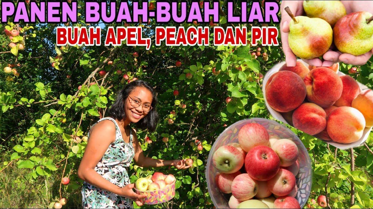 3000 Gambar Apel Liar  Paling Keren