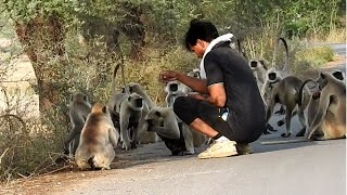 langur monkey with a man taking food on the road