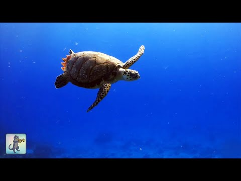 Underwater Marine Life ~ Sea Turtles, Coral Reef Fish & Relax Music (1080p HD)