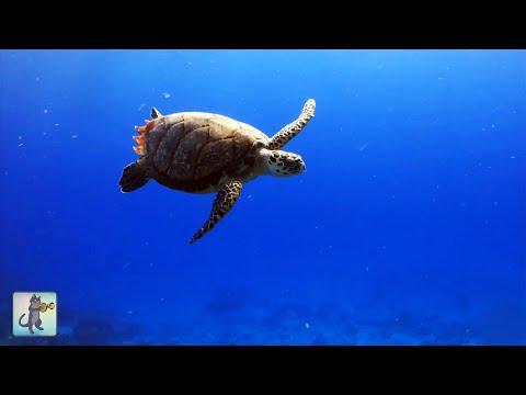 ► Underwater Marine Life: Sea Turtles, Coral Reef Fish, Ocean Fish & Relax Music (1080p HD)