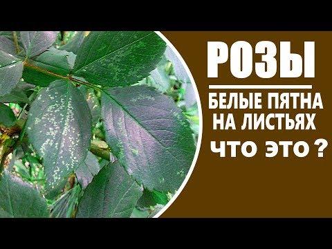 Вредители роз . Пятна на листьях розы  . Что это  или кто.