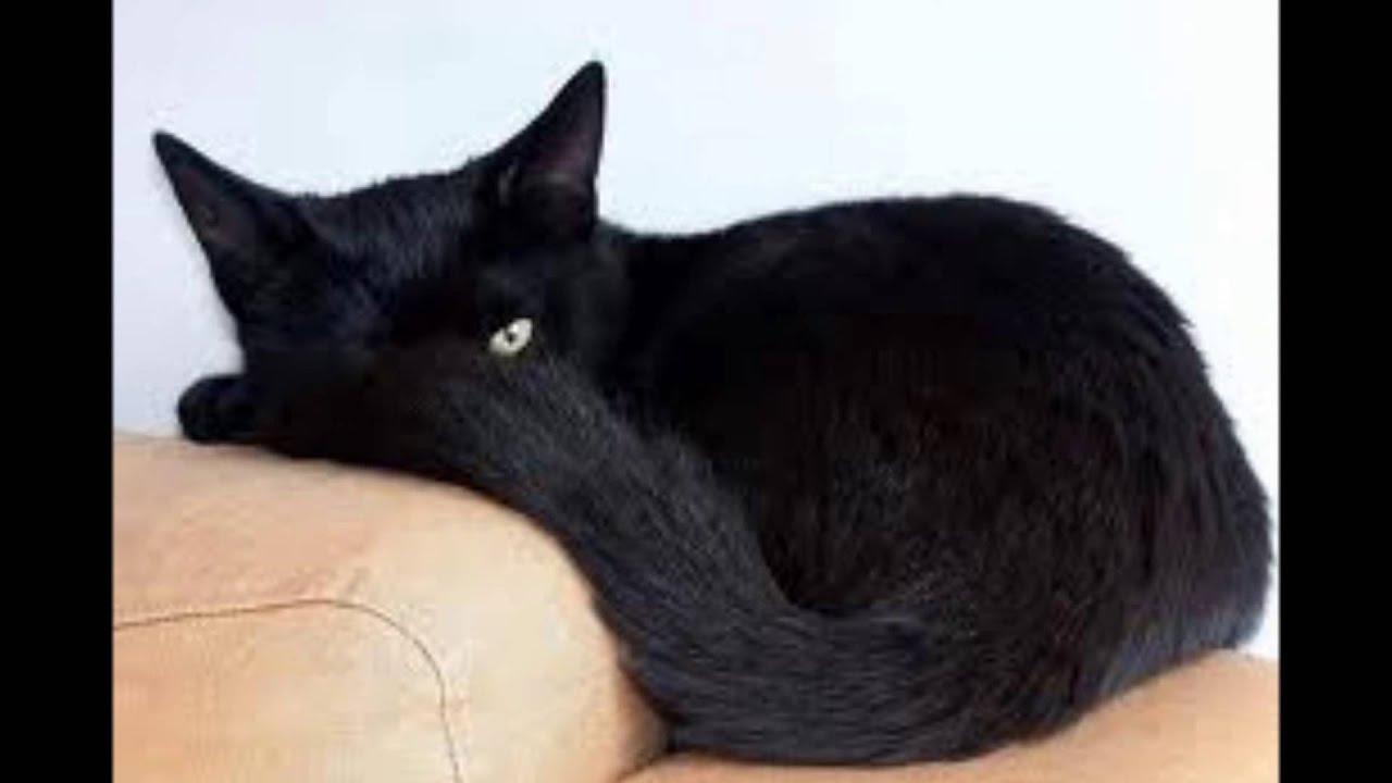 Beautiful Black Cats Youtube