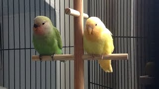 First Steps to Clicker/Target Training with Lovebirds