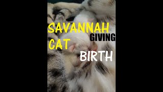 Savannah Cat giving birth to Snow and Brown Spotted Tabby kittens (educational video) 😻