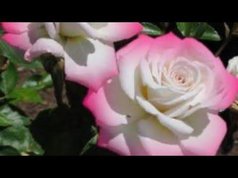 Розы в саду! Аптека для роз.