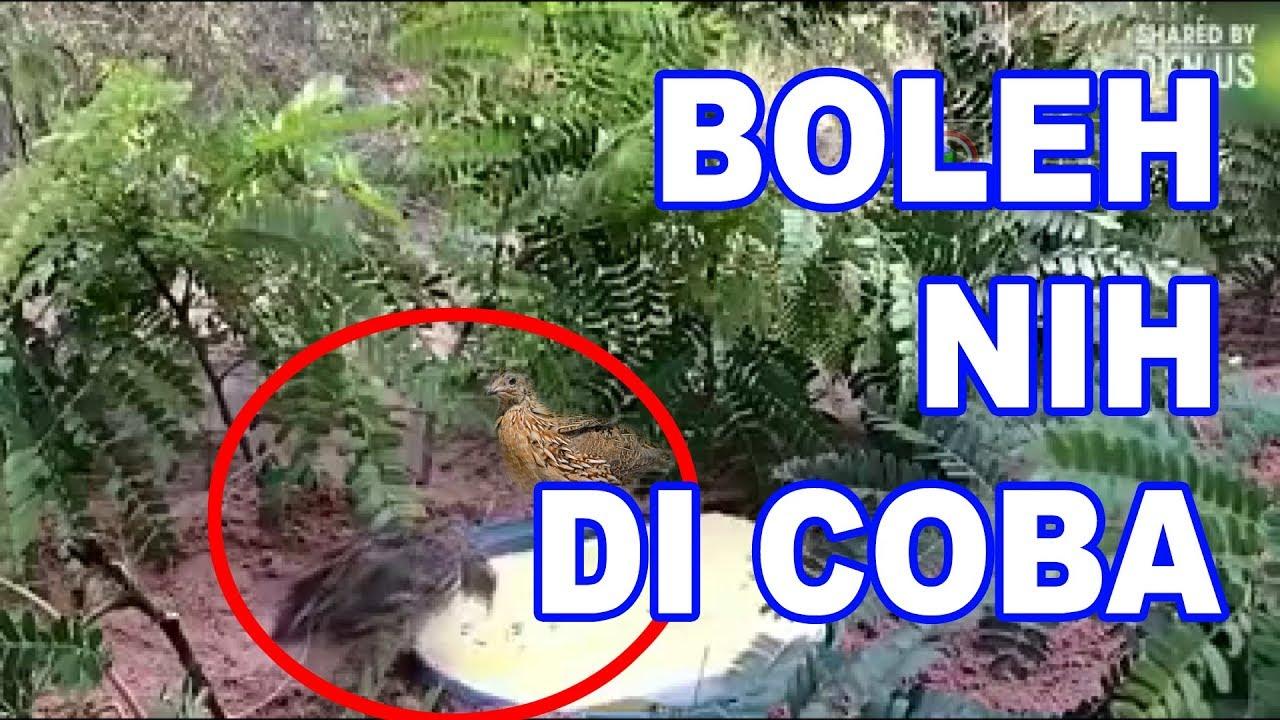 Kreatif Jebakan Burung Puyuh Gemak Hutan Youtube