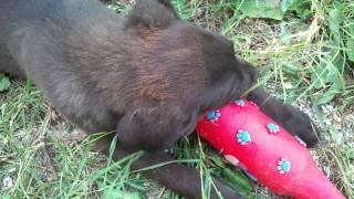 Labrador Retriever Puppy Bites Its Dog Beer Bottle And Barks :)