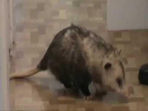 Biggest House Ever >> Possum as a house pet. - YouTube