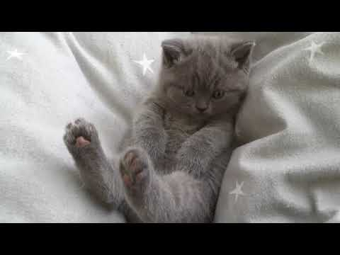 Fun British Shorthair cat  Our lazy girls * cattery Calmcat