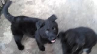 Грязные собаки 01.08.16
