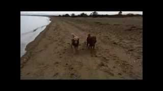 Poodle Beach With Geese Spring 2015 Movie Hd.mp4