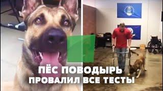 Пёс должен был стать собакой поводырём, но в итоге завалил все возможные тесты