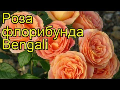 Роза флорибунда Бенгали. Краткий обзор, описание характеристик, где купить саженцы Bengali