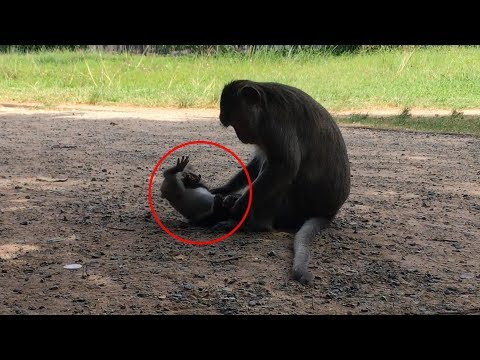 Little Baby Monkey Crying Loudly Cos Bad Mom Strong Attack, Nature Daily
