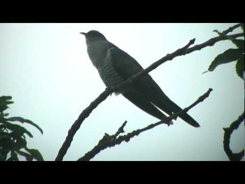 Cuckoo calling