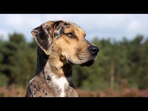 Catahoula Leopard Dog Facts / Rare Dog/ Hog Hunter Dogs