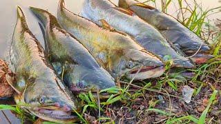 Wallago attu catfish|| Pathan fish hunting ||Spoon fishing in river