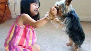 Coconut Yorkie Baby High Five Bang Bang Dog Puppy Play Dead Clips Funny Cute Tricks