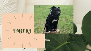 Best Dog Training in Chicago! 6 month old Staffordshire Bull Terrier, Inoki!