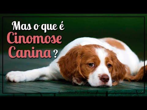 cinomose-canina- -divã-veterinário
