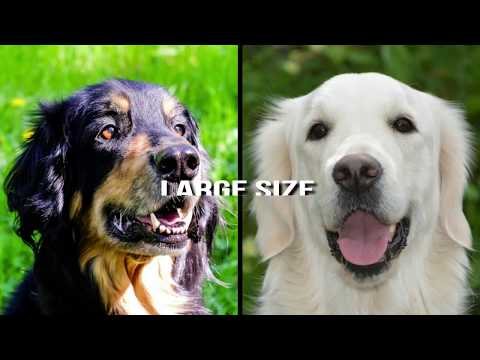 Hovawart vs Golden Retriever - Dog Breed Comparison