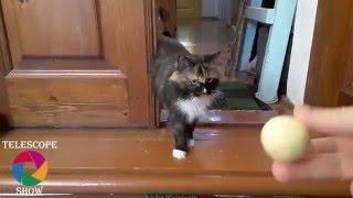 Кот думает что он собака - приносит мяч в зубах