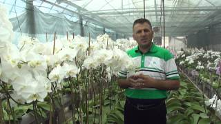 ORKİDE YETİŞTİRİCİLİĞİ CULTIVATION OF PHALAENOPSIS ORCHIDS