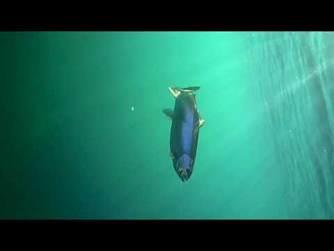 The cautious, wily trout of Lake Taupo
