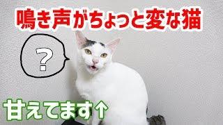 チロくんは鳴き声があまり猫っぽくありません。そんなチロの鳴き声をま...