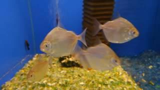 Аквариумная рыбка - Серебристый метиннис (серебряный доллар)