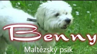 Maltese Dog,  Super Cute Maltese Dog Running Around, Cute Dog Video