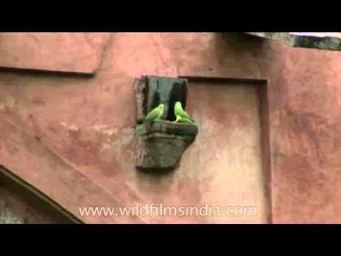 Living in an ancient fort: Rose-ringed Parakeets