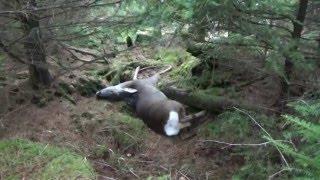 Heart shot roe deer 308 win 150gr Hornady sst and track
